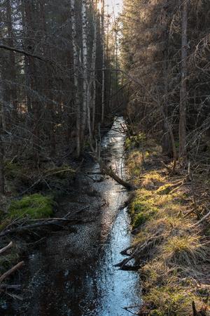 arboles secos: Straght drenaje zanja en un bosque de humedales n�rdico en Finlandia con los �rboles muertos alrededor.