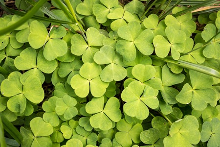 Dense layer of green Wood sorrel leaves growing in a Nordic forest