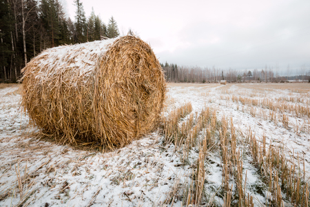 snowy field: Round hay bale covered by snow left on a hayfield in late autumn in Finland.