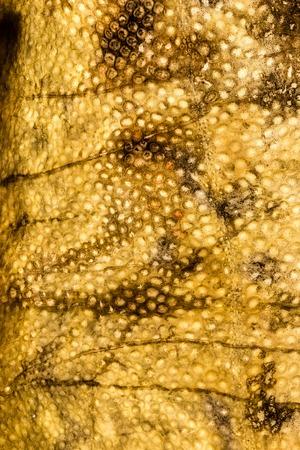burbot: Lota piel de pescado