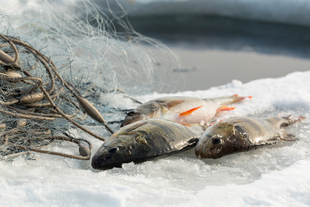 perca: Large European perch on ice with gillnets Stock Photo