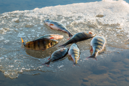 Big perch on ice floe Stock Photo