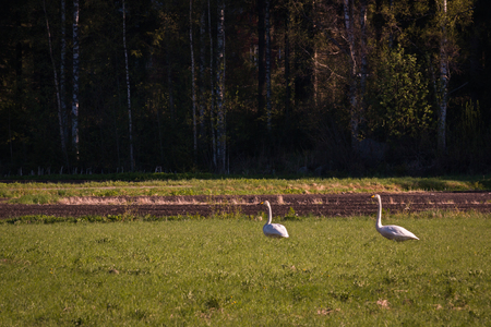 Whooper swans on green hayfield