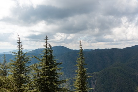 Narrow cedar trees at Troodos mountains in Cyprus