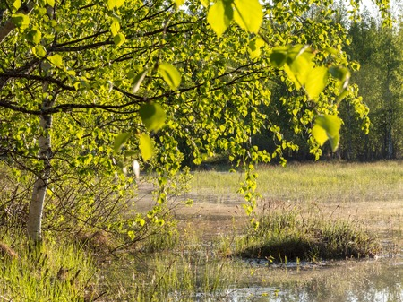 Light green birch leaves hanging over flood meadow in spring