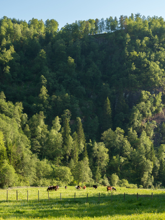 Cows pasturing by cliff