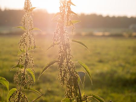 Nettle plants in evening sun backlight