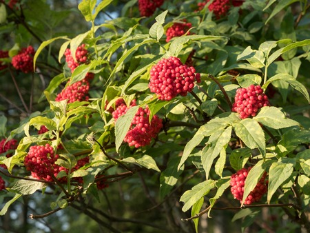 Red elderberry leaves and berries