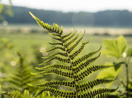 Underside view of green lady fern leaves