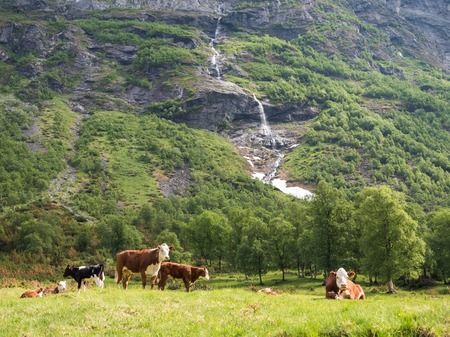 Hereford cows at mountain hillside in Norway Stock Photo