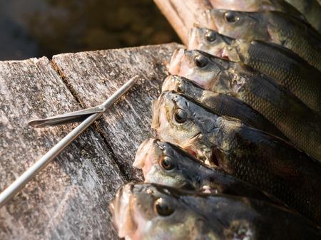 European perch spearfishing catch
