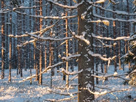 Snowy spruce in winter forest