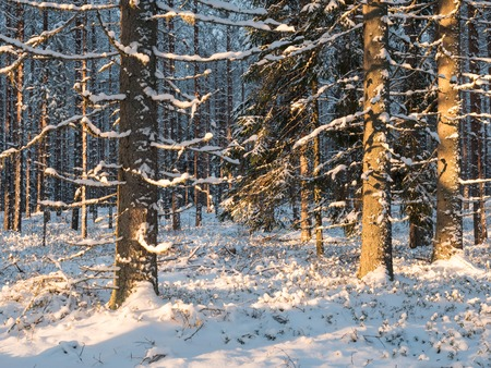 Snowy spruces in winter forest