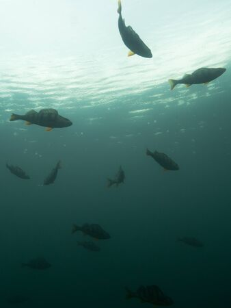 School of perch and rainy water surface underwater low angle shot.