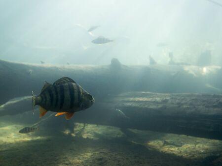 Pesce persico europeo che nuota sul fondo del lago con ombre di alberi caduti.