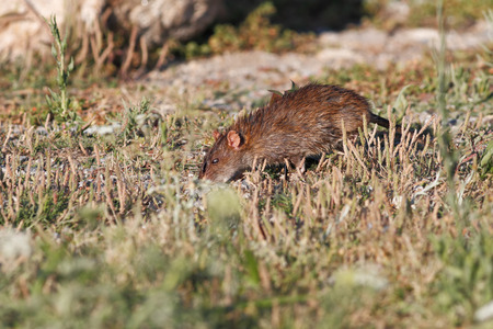 Closeup photo of a country mouse looking for food in the grass. Ave river, near Porto, Portugal photo