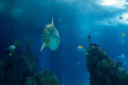 sunfish: Lisbon, Portugal - March 3, 2014: Lisbon Oceanarium main tank, seeing an ocean sunfish (mola mola) passing