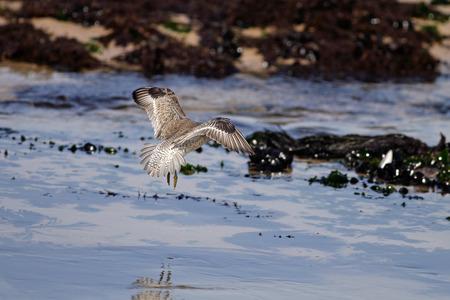 waders: Un p�jaro que vuela, flotando, en una playa en el norte de Portugal