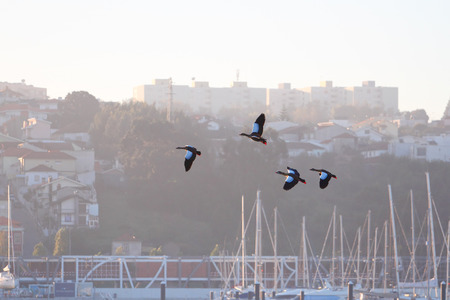 Small flock of Egyptian geese flying over the river Douro, Porto, Portugal. Early morning light. photo
