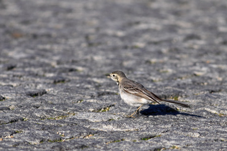 Wagtail on a road. Portugal. photo