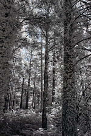 Deep infrared forest. Peneda Geres National Park, north of Portugal. photo