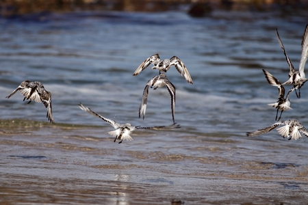 waders: Sanderlings in flight over a seaside from north of Portugal (shallow DOF)