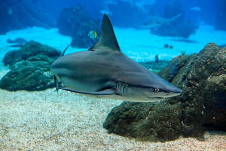 oceanarium: Lisboa, Portugal - March 3, 2014: Shark from Lisbon Oceanarium