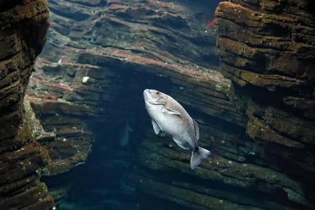 sweetlips: Beautiful aquarium sea bream in an almost natural environment Stock Photo