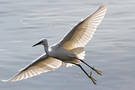 pescando: Garza blanca volando sobre el r�o Duero, al norte de Portugal, en la luz de fondo suave, durante su actividad pesquera