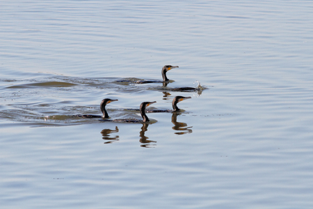 devouring: Flock of cormorants during fishing. Douro river, north of Portugal Stock Photo