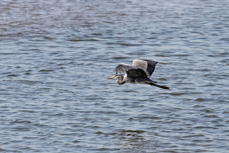 wing span: Heron in flight over Douro river, north of Portugal