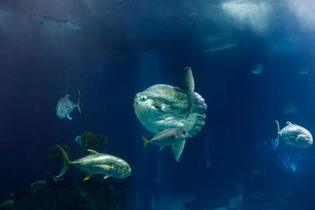sunfish: Porto, Portugal - March 3, 2014:  Beautiful sunfish from the Lisbon Oceanarium main tank