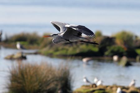 ardea cinerea: Heron in flight over Douro river, north of Portugal. Soft backlight.