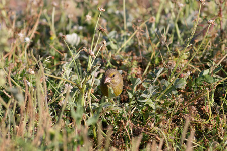 camouflaged: European greenfinch eating camouflaged among grass. North of Portugal. Stock Photo
