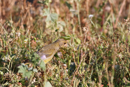 camouflaged: European greenfinch eating camouflaged among grass in spring. North of Portugal. Stock Photo