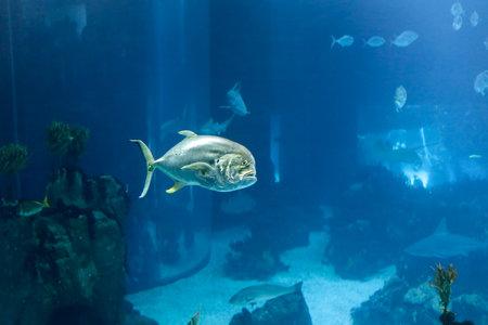 oceanarium: Lisboa, Portugal -  March 3, 2014: Xareu fish, Hippos Caranx, Lisbon oceanarium
