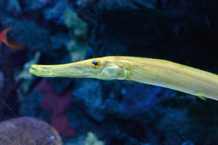 maculatus: Very detailed photo of an aquarium yellow trumpet fish