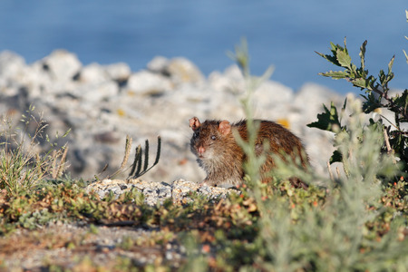 disguised: Ave river rat disguised between the vegetation from the riverbank looking for food, north of Portugal
