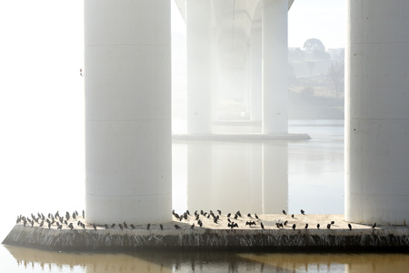 under: Beneath one of the newest bridges over the Douro River, Freixo bridge, seeing part of its resident colony of cormorants in a foggy morning