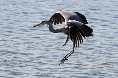 Heron in flight over Douro river. Soft backlight.