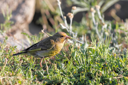 greenfinch: Detailed photo of a greenfinch eating the grass