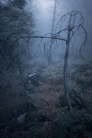 arbre mort Frayeur d'une forêt brumeuse européen au crépuscule Banque d'images