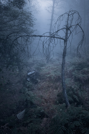 Frightening dead tree from an european foggy forest at dusk
