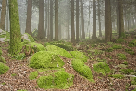mood moody: High mountain woods in a foggy but sunny spring morning in the national park of Peneda Geres in the north of Portugal with interesting rocks covered with moss in the foreground. Stock Photo