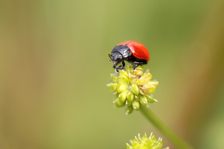 repulsive: Red and black insect from a portuguese meadow