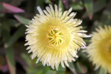 enhanced: Beautiful carpobrutus edulis (chorao-das-praias) yellow flower seeing stamen. It was slightly enhanced the background lens blur.