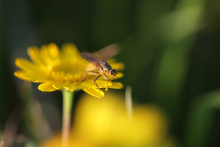 Macro of a fly over a yellow wild flower with interesting light at dusk. Shallow DOF.