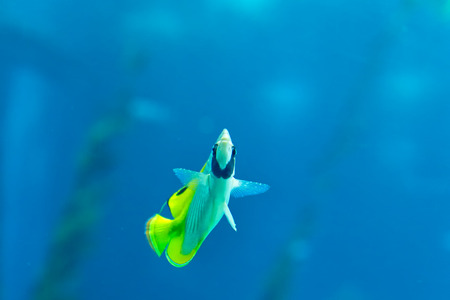 butterfly fish: Beautiful tropical  butterfly fish. Aquarium photo.
