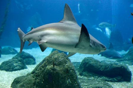 Lisbon, Portugal - March 3, 2014: Lisbon Oceanarium main tanK sseing a shark on the foreground