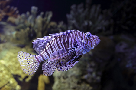 zebrafish: Lion fish closeup. Aquarium photo. High ISO photo.